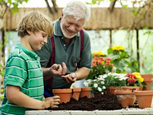 Young boy (8-9) potting flowers with grandfather in glasshouse, smiling